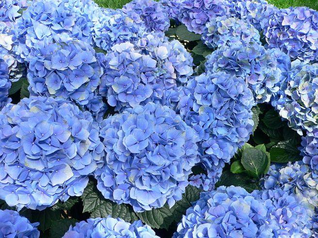 800px-Hydrangea_macrophylla_-_Hortensia_hydrangea